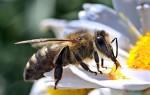 Что делать при укусе пчелы в губу